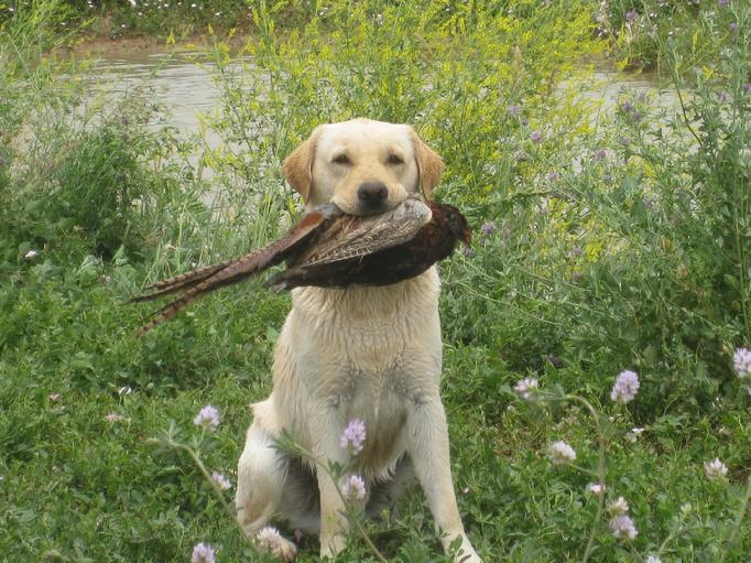 Are Labradors Good Gun Dogs