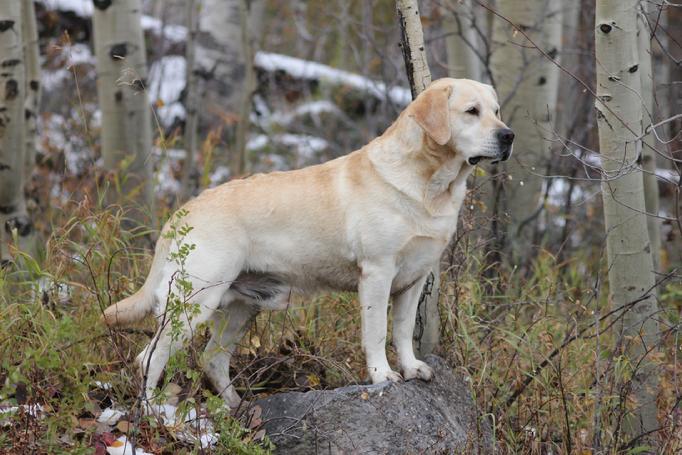 Labrador Retriever Hunting Dogs