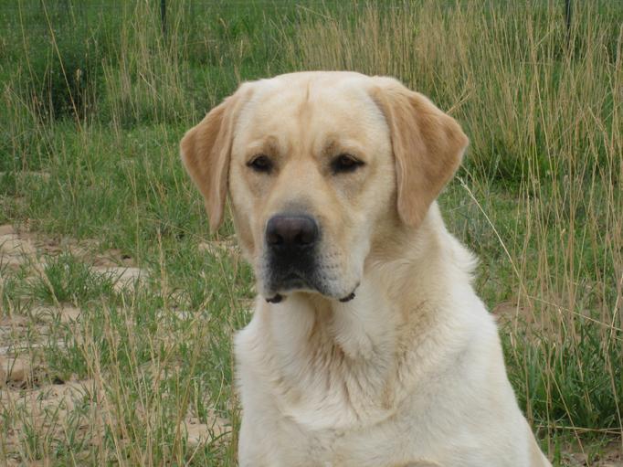 ... English Labrador Retriever English Labrador Retriever English Labrador