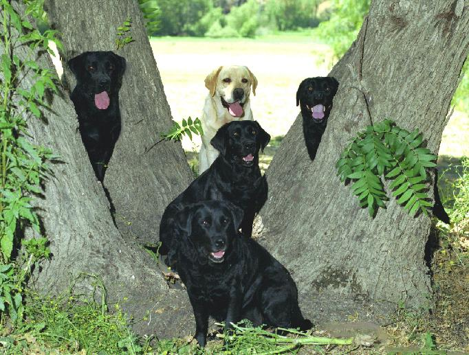 ENGLISH STYLE LABRADOR HUNTING DOGS
